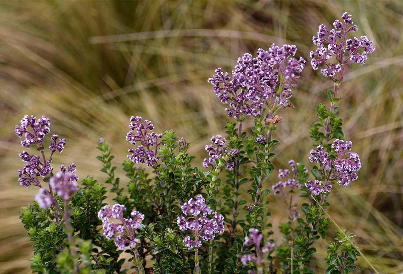cajas national park plants