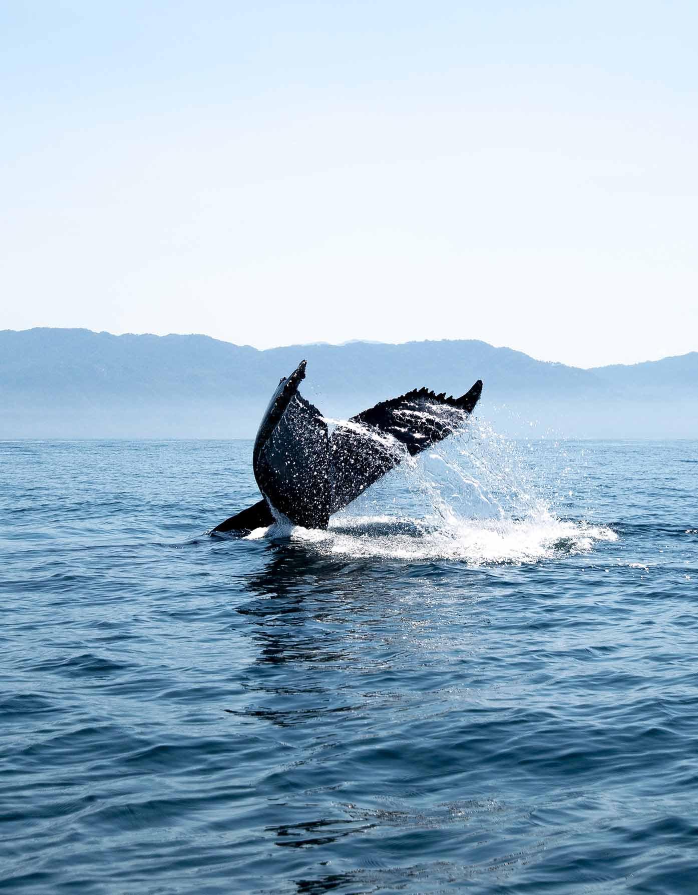 puerto vallarta whale watching