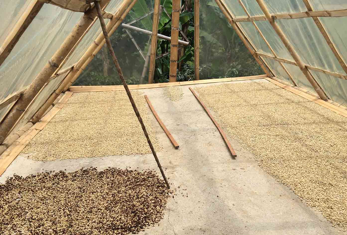colombian coffee harvest