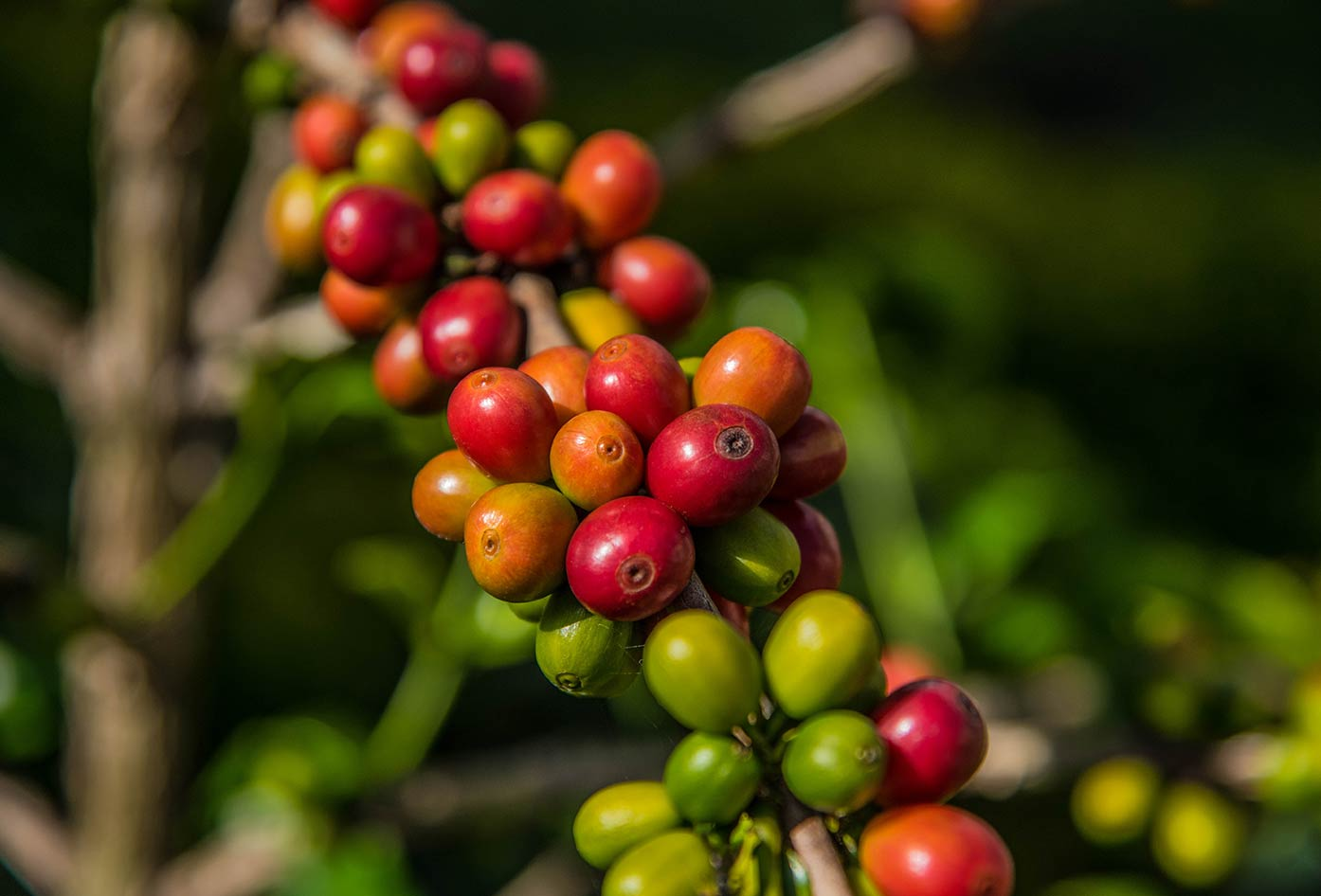 colombian coffee beans on plant