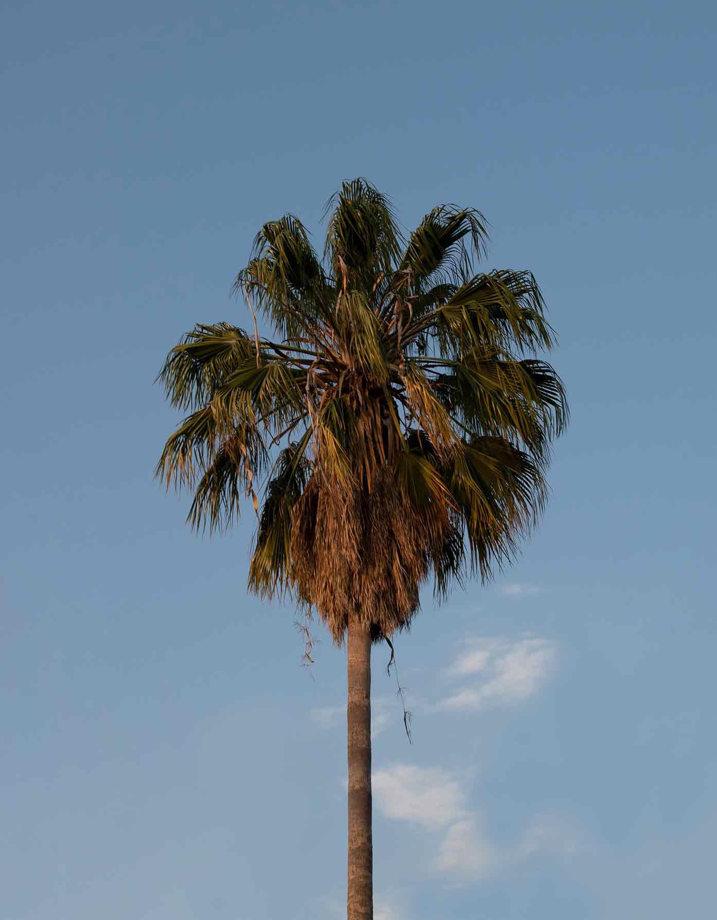 guadalajara mexico palm tree