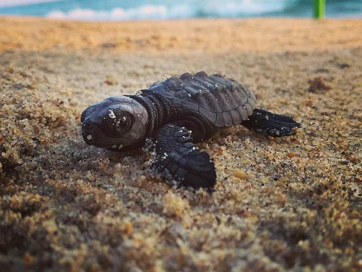 playa bacocho turtle release