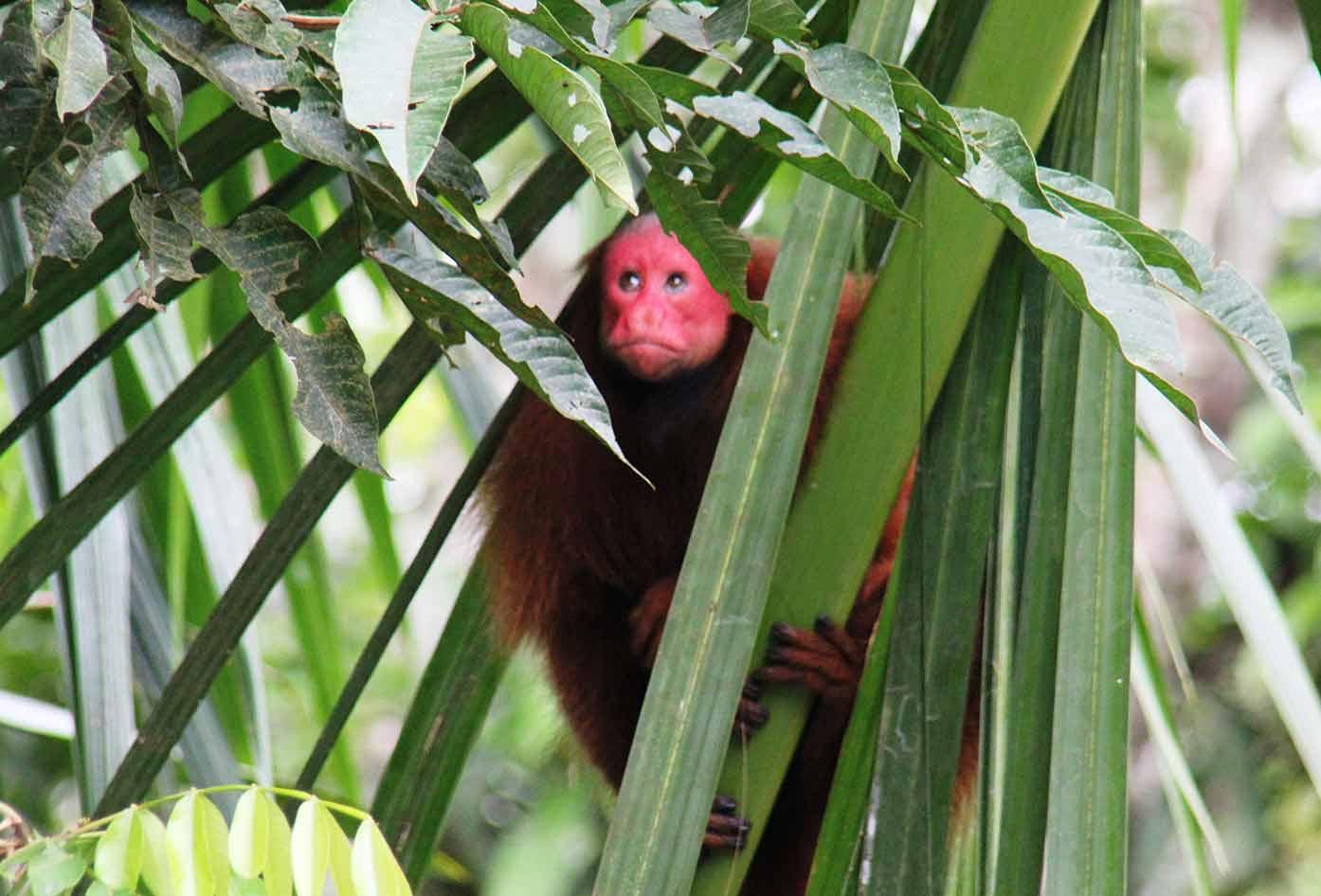 monkey iquitos peru
